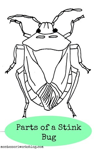 Parts of the Stink Bug - Montessori Works